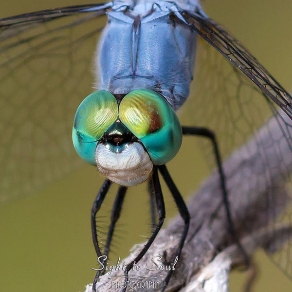 Blue Dasher Dragonfly photo wall art print
