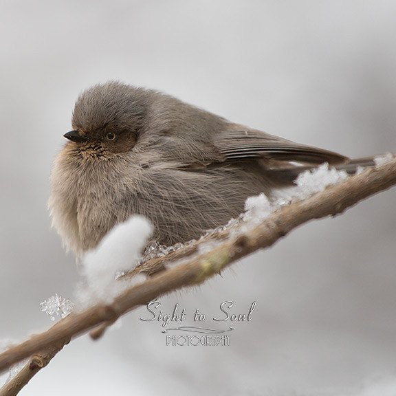 Bushtit bird photography