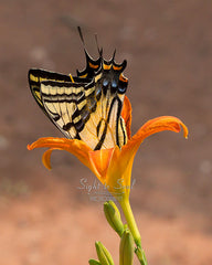 Two-tailed Swallowtail Butterfly Wall Art, Nature Photography, Fine Art Print