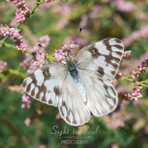Checkered White Butterfly wall art