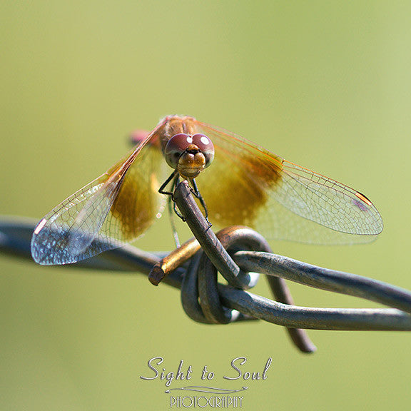 male Band-winged Meadowhawk Dragonfly (Sympetrum semicinctum)