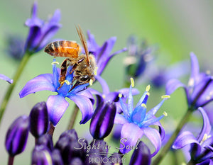 Honey Bee Wall Décor, Nature Photography, Bee on Flower Photo