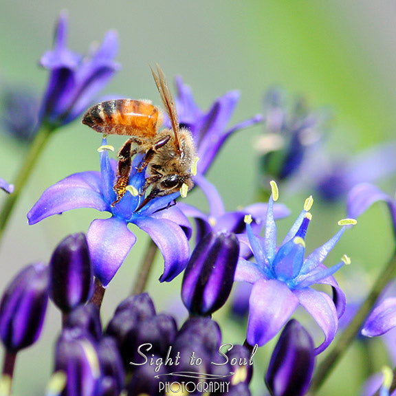 Honey Bee on  Flower Wall Décor, Nature Photography