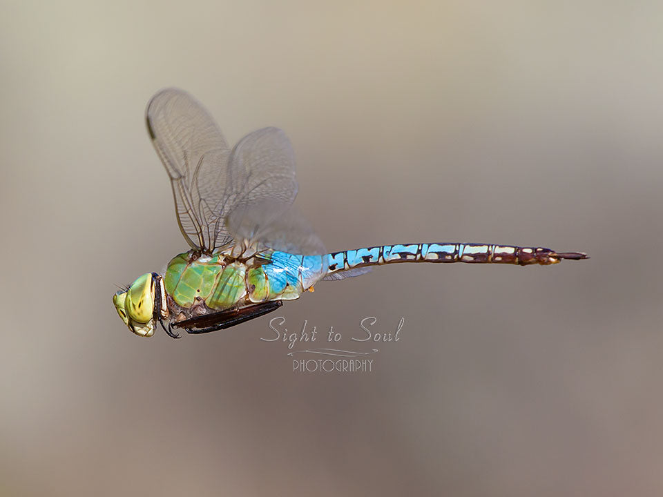 Blue Green Dragonfly Wall Art, Common Green Darner Photo