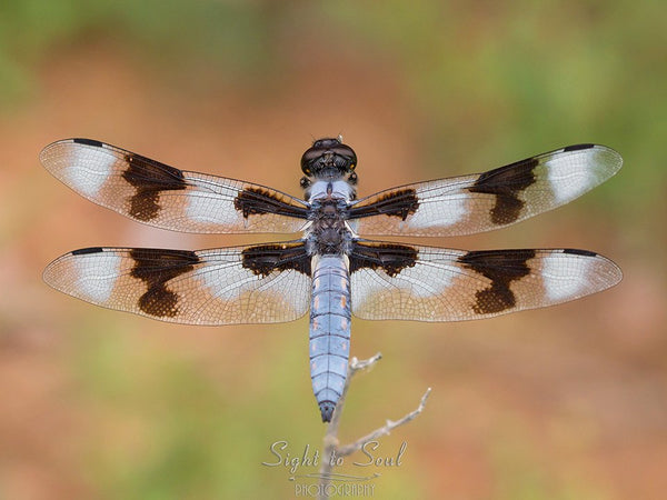 Eight-spotted Skimmer Dragonfly
