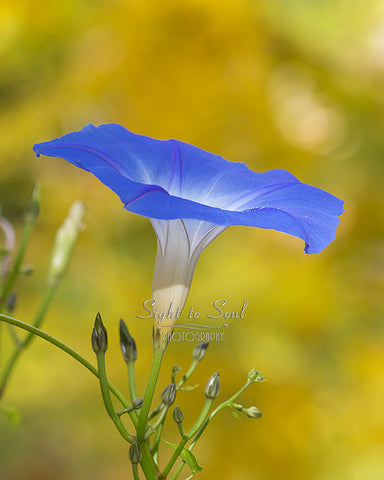 Blue Flower Photography, Morning Glory Photo