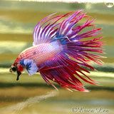 Crowntail Betta Fish photography