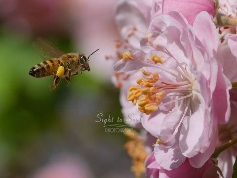 Flying Honey Bee Photo, Nature Wall Art, Girl Nursery Wall Décor