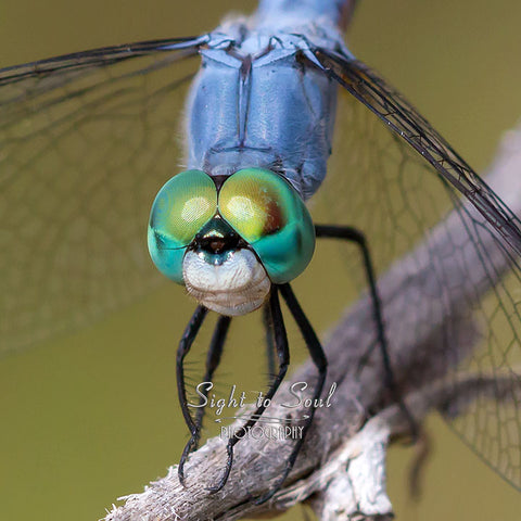 Blue Dasher Dragonfly Eyes Photo Print