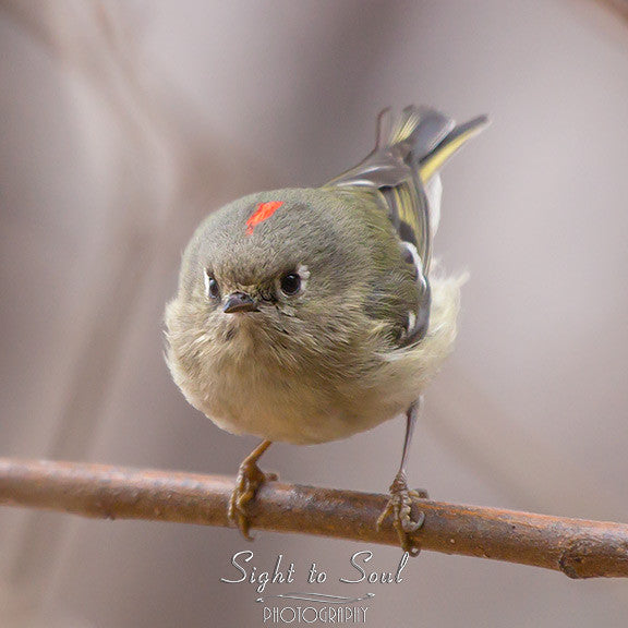 Ruby Crowned Kinglet photo print