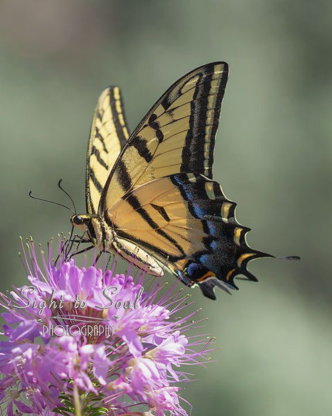 Two-tailed Swallowtail Butterfly Photography Fine Art Print