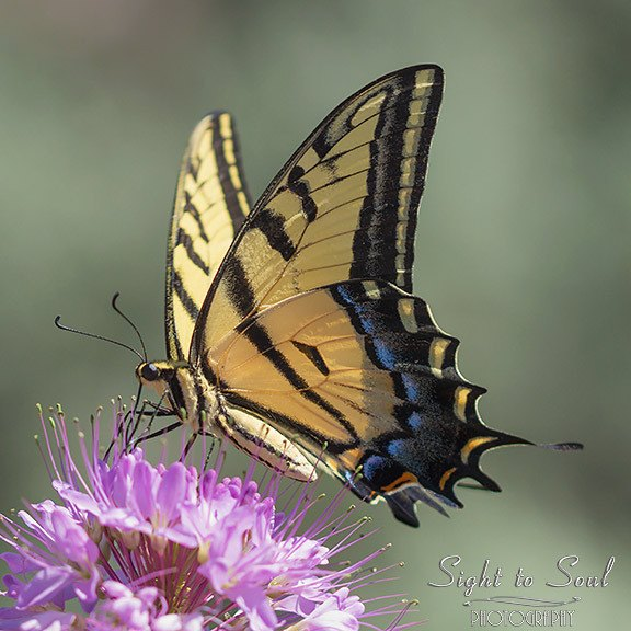 Two-tailed Swallowtail Butterfly photo print