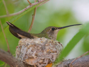 Nesting Black-chinned Hummingbird