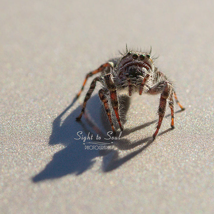 Cute Jumping Spider Photo Gifts, Macro Photography, Fine Art Print