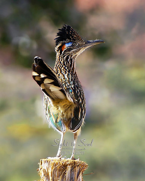 Greater Roadrunner Photography, Southwest Wall Art Print, Bird Lover Gifts