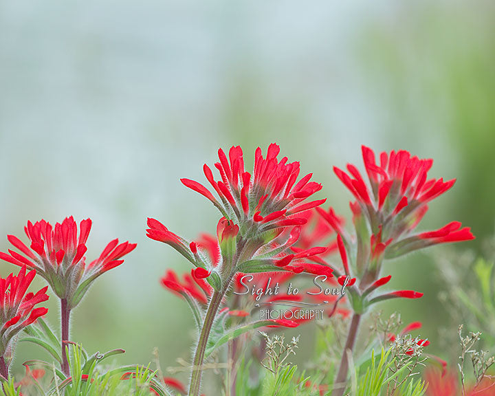 Red Indian Paintbrush Photo, Wildflower Photography, Nature Wall Art Print