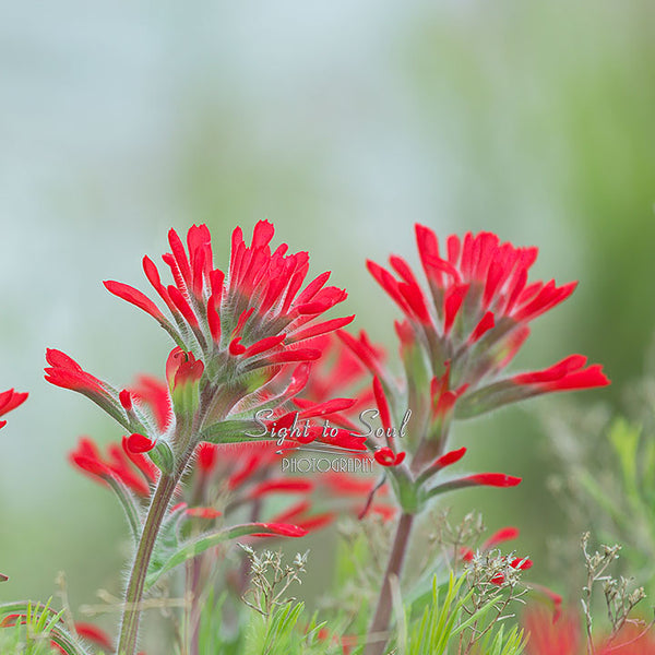 Wildflower Photography, Red Indian Paintbrush Photo, Nature Wall Art Print