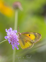 Yellow Butterfly Wall Art Nature Photography Orange Sulphur Butterfly on Flower Fine Art Print