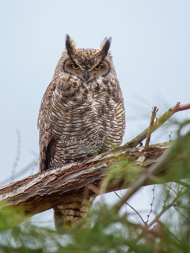 Great Horned Owl Print, Bird Photography, Owl Lover Gifts