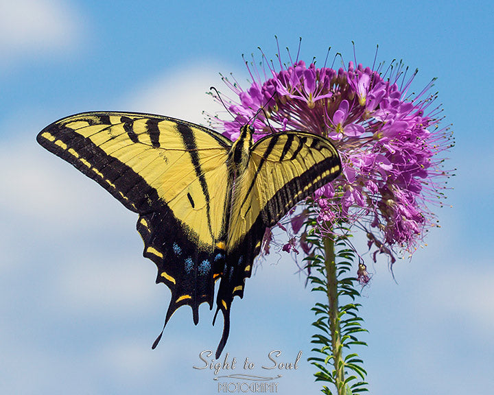Swallowtail Butterfly Wall Art, nature photography, fine art photo print