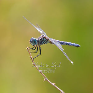 Blue Dasher Dragonfly Photography, Nature Wall Art, Fine Art Print