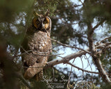 Long eared owl photo print