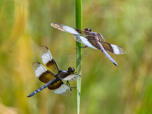 Dragonfly Photography, Nature Wall Art, Widow Skimmer Dragonflies