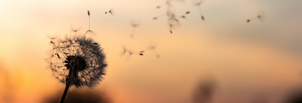 Dandelion in sunset blowing away