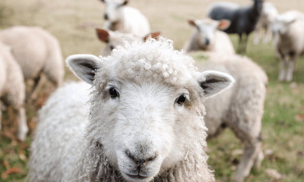 lanolin - vitamin D from sheep