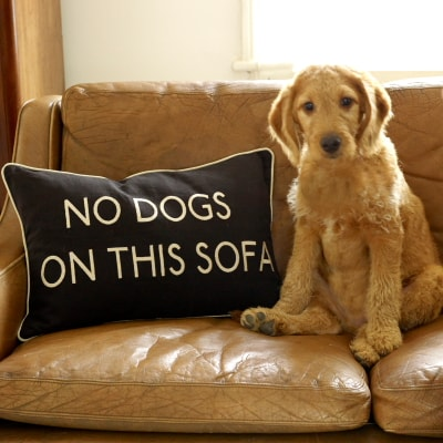 Dog On The Sofa-Clean Air Plus Air Purifiers
