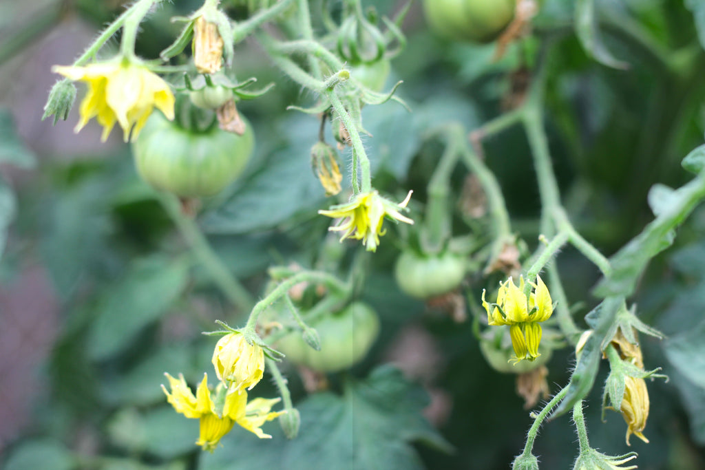 Tomato Flowers in the garden