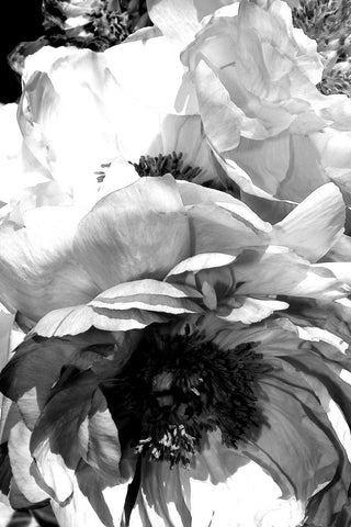 The Queen Peony. Canvas Print by Irena Orlov