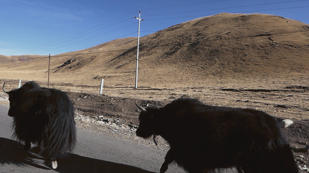 Yaks on the road in Gangcha, Qinghai