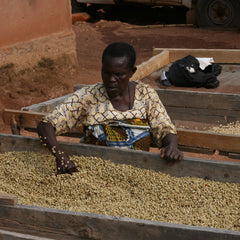 Processing coffee Beans on drying bed