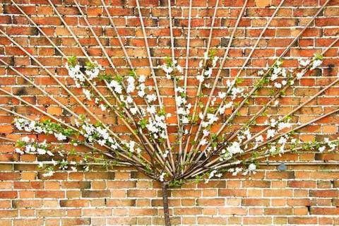"Tutorial: Grow a Wall-Climbing ""Garden"" (Espalier)"