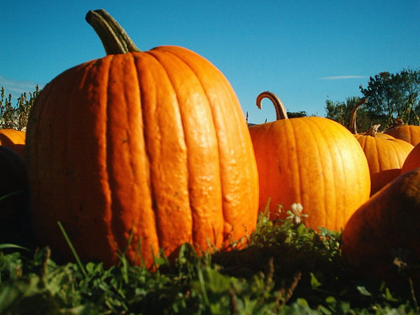 The 411 on Harvesting and Storing Pumpkins