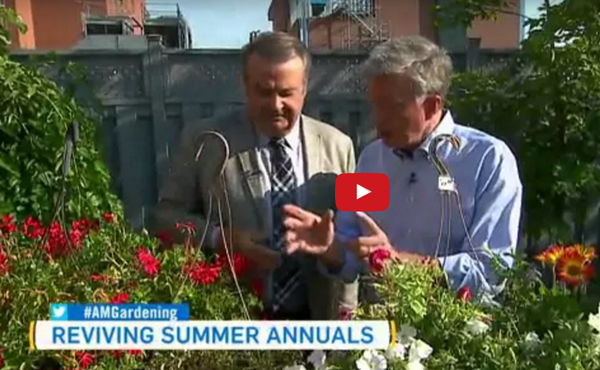Reviving Summer Annuals