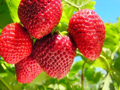 It's Strawberry Season! - How to Pick This Summer's Harvest