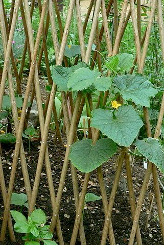 Growing Vegetables on a Trellis