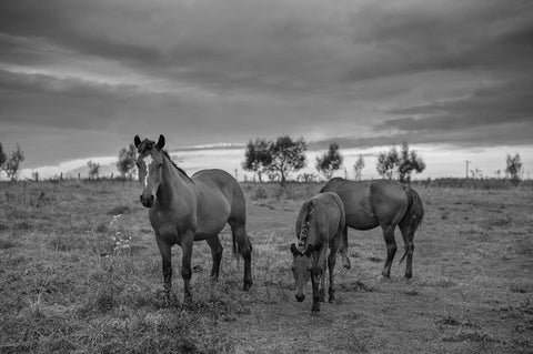 3 Horses In Meadow Black & White Vinyl Print