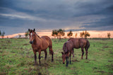 3 Horses In Meadow Vinyl Print