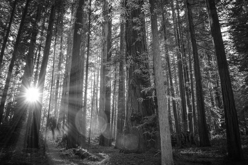 California Redwood Forrest Black & White Vinyl Print