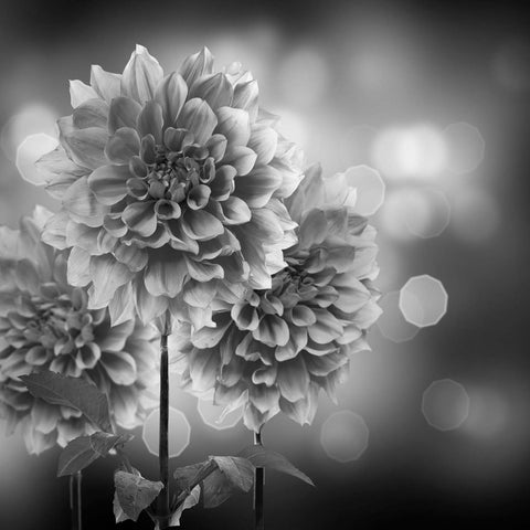 Black & White Dahlia Flower Vinyl Print