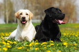 Labrador Retriever Dogs Vinyl Print