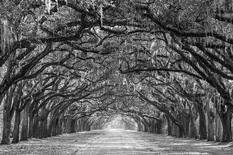 Savannah Georgia Live Oaks Black & White Vinyl Print