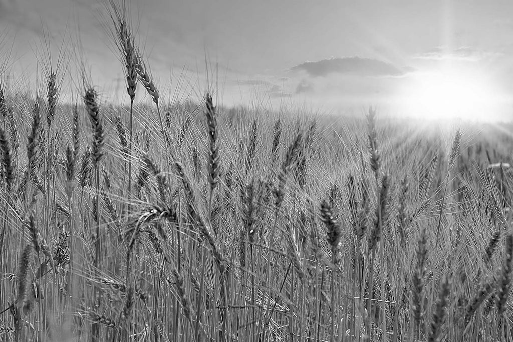 Wheat Field Black & White Vinyl Print