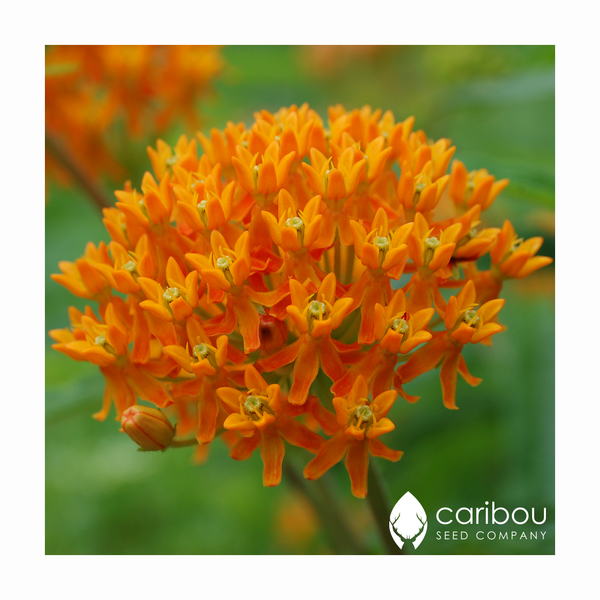 butterfly milkweed - Caribou Seed Company