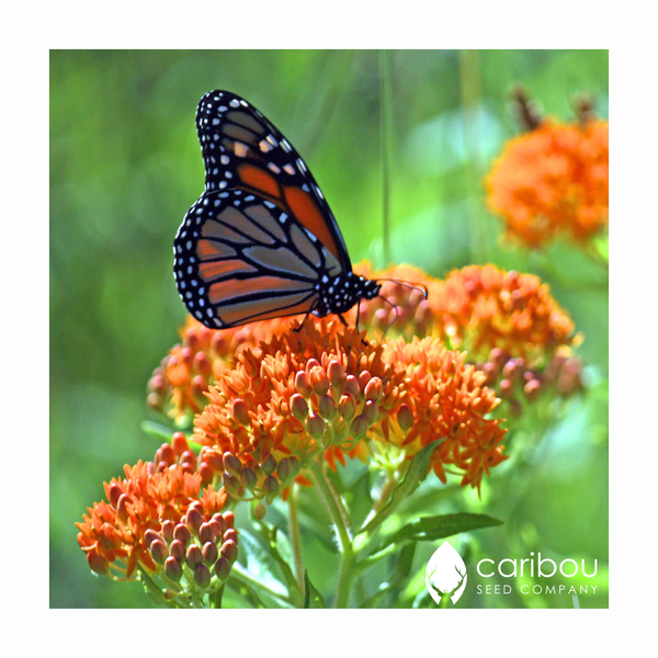 monarch butterfly garden kit - Caribou Seed Company
