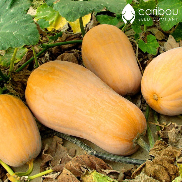 butternut squash - Caribou Seed Company