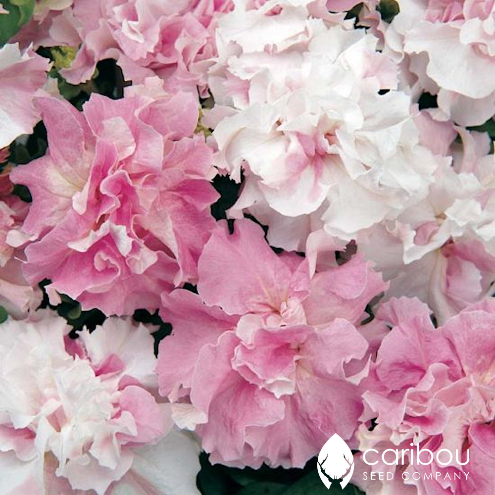 cascade petunia - orchid mist - Caribou Seed Company